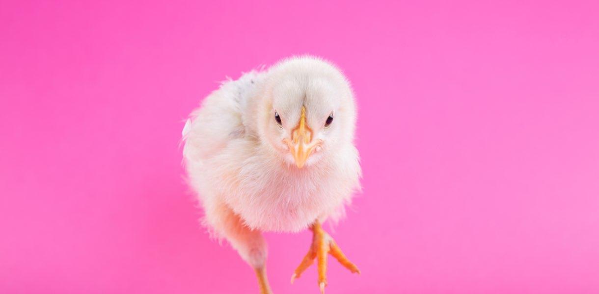 liten kyckling med rosa bakgrund